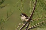 Woodchat Shrike/Lanius senator - Photographer: Борис Белчев