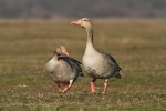 Greylag Goose/Anser anser, Family Waterfowl