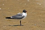 Laughing Gull/Larus atricilla, Family Gulls, Terns