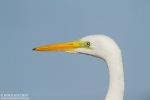 Great Egret/Ardea alba - Photographer: Борис Белчев