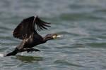 Great Cormorant/Phalacrocorax carbo - Photographer: Борис Белчев