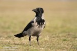 Family Crows, Hooded Crow/Corvus cornix - Photographer: Светослав Спасов