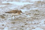Temminck's Stint/Calidris temminckii - Photographer: Светослав Спасов