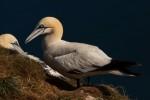 Бял рибояд/Morus bassanus - Фотограф: Борис Белчев