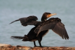 Great Cormorant/Phalacrocorax carbo - Photographer: Dimitar Dimitrov