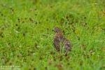 Northern Goshawk/Accipiter gentilis - Photographer: Борис Белчев