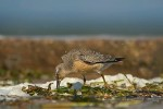Family Sandpipers, Red Knot/Calidris canutus