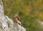 Common Kestrel/Falco tinnunculus - Photographer: Иван Иванов