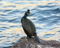 European Shag/Phalacrocorax aristotelis - Photographer: Даниел Митев