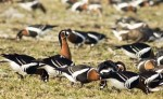 Red-breasted Goose/Branta ruficollis - Photographer: Георги Герджиков