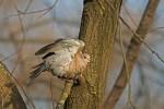 Eurasian Collared-dove/Streptopelia decaocto - Photographer: Борис Белчев