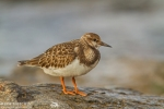 Ruddy Turnstone/Arenaria interpres, Family Sandpipers