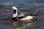 Long-tailed Duck/Clangula hyemalis - Photographer: Борис Белчев