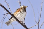 Redwing/Turdus iliacus, Family Thrushes