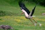 White Stork/Ciconia ciconia - Photographer: Николай Шопов