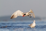 Caspian Tern/Hydroprogne caspia, Family Gulls, Terns