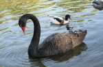 Black Swan/Cygnus atratus, Family Waterfowl