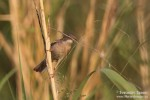 Common Whitethroat/Sylvia communis - Photographer: Светослав Спасов