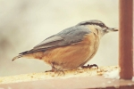 Family Nuthatches, Wood Nuthatch/Sitta europaea - Photographer: Фани Михайлова