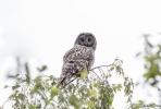 Ural Owl/Strix uralensis, Family Owls