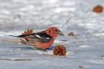 Family Finches, Two-barred Crossbill/Loxia leucoptera