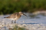 Curlew Sandpiper/Calidris ferruginea - Photographer: Борис Белчев