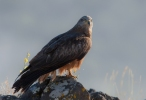 Black Kite/Milvus migrans, Family Hawks
