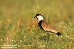 Spur-winged Lapwing/Vanellus spinosus, Family Plovers