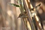 Family Warblers , Eurasian Reed-warbler/Acrocephalus scirpaceus - Photographer: Светослав Спасов