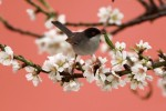 Sardinian Warbler/Sylvia melanocephala - Photographer: Чавдар Гечев