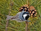 Coal Tit/Periparus ater - Photographer: Иван Иванов