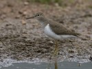 Common Sandpiper/Actitis hypoleucos - Photographer: Светослав Митков
