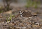 Little Ringed Plover/Charadrius dubius - Photographer: Богдан Боев