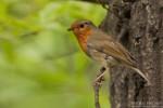 European Robin/Erithacus rubecula - Photographer: Борис Белчев