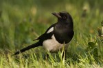 Black-billed Magpie/Pica pica - Photographer: Борис Белчев