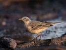 Family Pipits, Wagtails, Water Pipit/Anthus spinoletta - Photographer: Иван Иванов