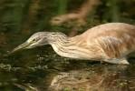 Squacco Heron/Ardeola ralloides - Photographer: Борислав Борисов