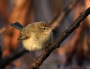 Common Chiffchaff/Phylloscopus collybita - Photographer: Иван Иванов