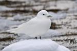 Ivory Gull/Pagophila eburnea, Family Gulls, Terns