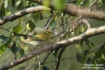 Family Warblers , Wood Warbler/Phylloscopus sibilatrix - Photographer: Светослав Спасов