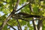 Yellow-billed Cuckoo/Coccyzus americanus - Photographer: Даниел Митев