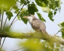 Yellow-billed Cuckoo/Coccyzus americanus, Family Cuckoos