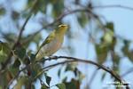 Wood Warbler/Phylloscopus sibilatrix - Photographer: Светослав Спасов