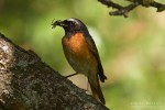 Common Redstart/Phoenicurus phoenicurus - Photographer: Борис Белчев