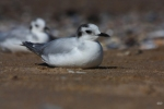 Family Gulls, Terns, Little Gull/Hydrocoloeus minutus