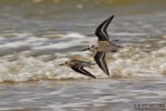 Sanderling/Calidris alba, Family Sandpipers