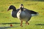 Family Waterfowl, Greylag Goose/Anser anser - Photographer: Иван