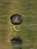 Family Rails, Common Moorhen/Gallinula chloropus