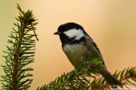 Coal Tit/Periparus ater - Photographer: Борис Белчев