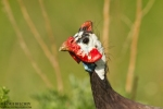 Helmeted Guineafowl/Numida meleagris - Photographer: Борис Белчев